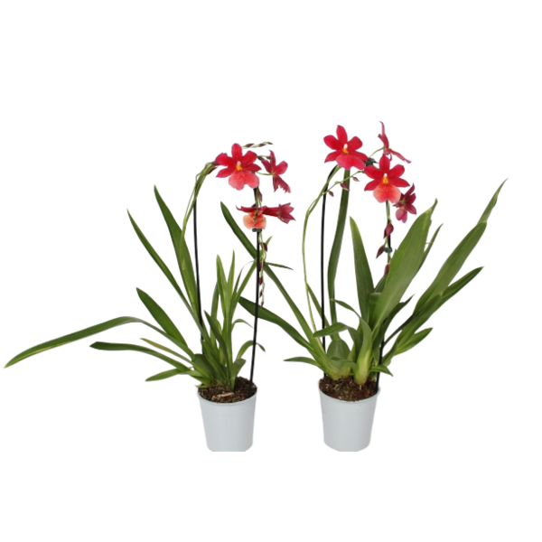 Orchideeën Cambria bowed red