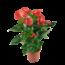 Anthurium Red Winner - Flamingoplant