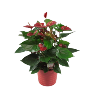Anthurium Bugatti Red