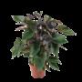 Anthurium Black Beauty