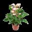 Anthurium Amalia Elegance - Flamingoplant