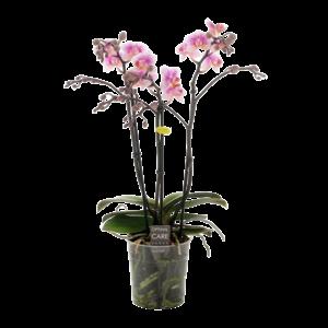 Phalaenopsis Havana Zweig 3