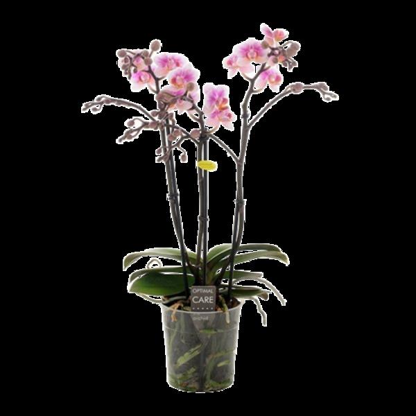 Phalaenopsis Havana 3 branch