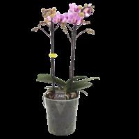 Phalaenopsis 2 branch girltalk