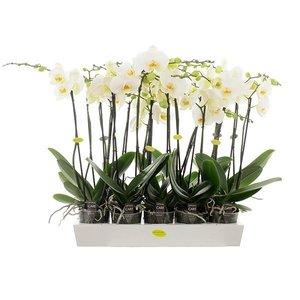 Phalaenopsis 2 grandes fleurs branche 70 cm blanc