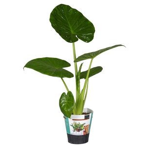 Alocasia Calidora - Elephant ear - pot 19 cm - Copy