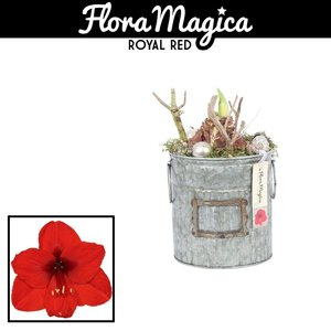 Hippeastrum  in zinc bucket large CHRISTMAS