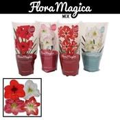 Hippeastrum  Flora Magica