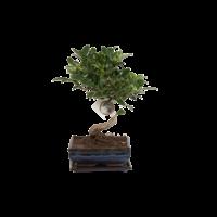 Bonsai Ficus S-shape 15 cm