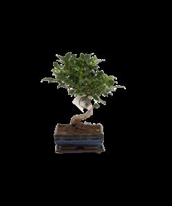 Ficus S-vorm 15 cm