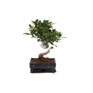 Bonsai Ficus S-Form 15 cm