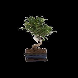 Bonsai Ficus S-forme 15 cm