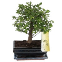 Bonsai Zelkova spherical 20cm