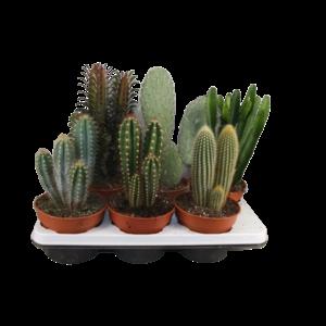 Cactus Gemischte Spalten