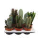 Cactus Columns mixed: only per 6 for sale