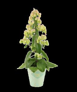 Magic Bell (Botanisch) - Woestijnroos