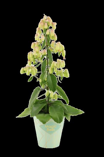 kalanchoe-magic-bell-botanisch.jpg