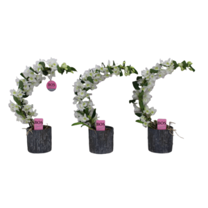 Dendrobium Nobilé pot de pierre spécial boomerang