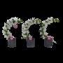 Dendrobium Pot en pierre boomerang spécial Nobilé
