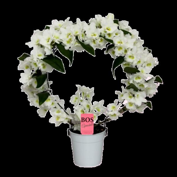 Dendrobium Nobilé Bow