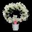 Dendrobium Nobile Bow