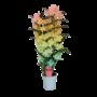 Dendrobium Nobilé, Color '' Rainbow '' 2-branch (spray)