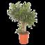Dracaena Song of India Jamaica - Dragon tree, Century plant