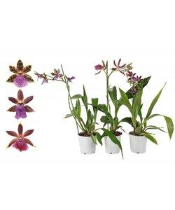 Zygopetalum 1 Zweig 4+ Blüten