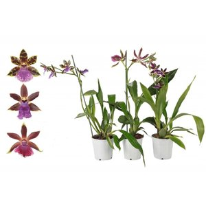 Orchideeën Zygopetalum 1 tak 4+ bloemen