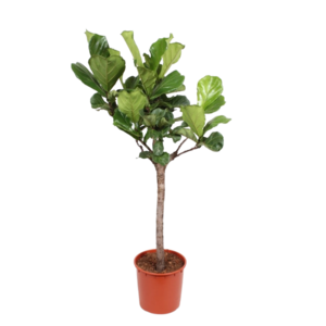 Ficus Lyrata branched trunk 160 cm -