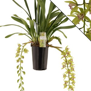 Cymbidium Hutchings