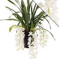 Cymbidium Ice Cascade