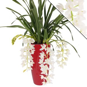 "Cymbidium Ice Cascade ""3-4 in ornamental pot bright red"