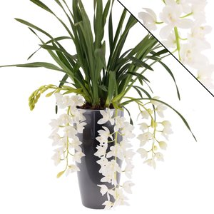 "Cymbidium Ice Cascade ""3-4 in anthracite pot"
