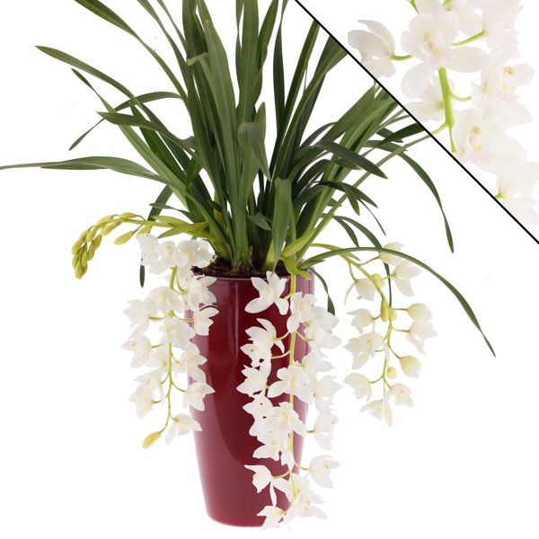 "Cymbidium Ice Cascade"" 3-4  in sierpot rood"
