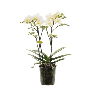 Phalaenopsis lech