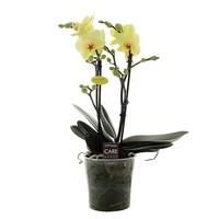 Phalaenopsis cancun
