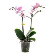 Phalaenopsis elegance