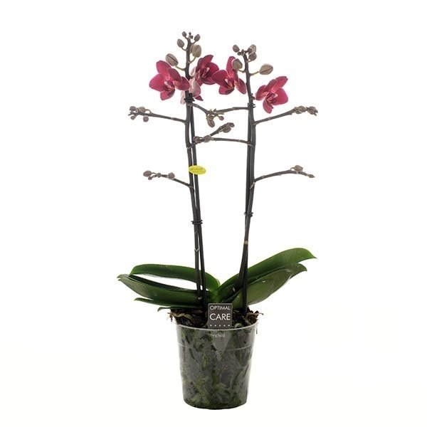 Phalaenopsis red lion
