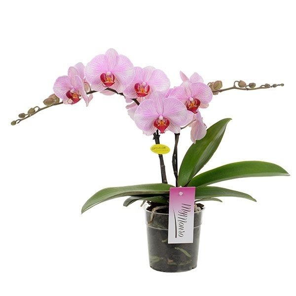 Phalaenopsis 2 tak Mymonro lipstick