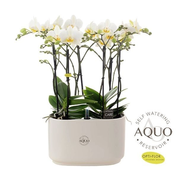 Phalaenopsis Lech - Calabria white
