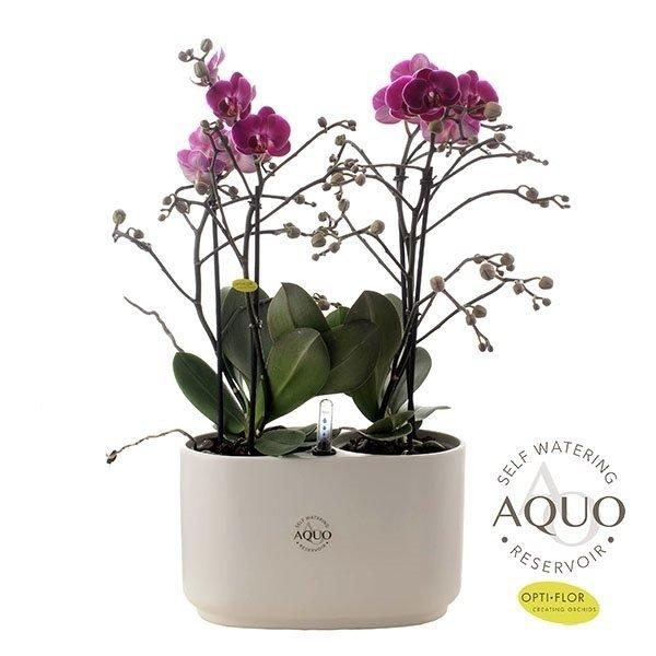 Phalaenopsis Morelia - Calabrie wit