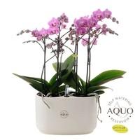 Phalaenopsis Vienne - Calabre blanche