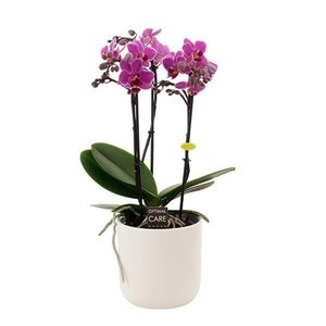Phalaenopsis Basel