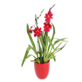 Orchideeën Cambria Nelly isler Red Velvet - 2 branch