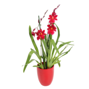 Orchideeën Cambria Nelly isler Red Velvet - 2 branches