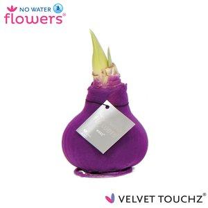 Amaryllis Pas de fleurs d'eau de velours Touchz®
