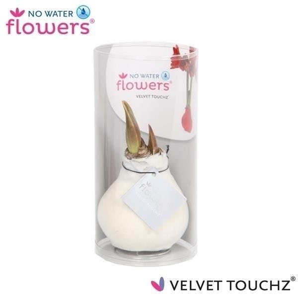 Amaryllis Pas de fleurs d'eau Velvet Touchz® - in kokor