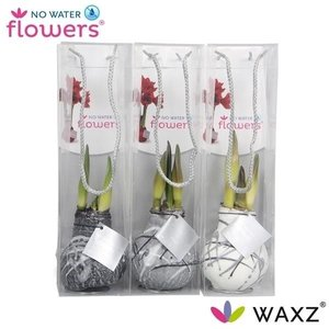 Amaryllis Wax Vermeer series in bag