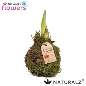 Amaryllis No Water Flowers Waxz® Naturalz Moss